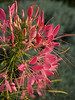Cleome near the store