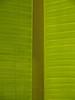 Veins of banana plant leaf