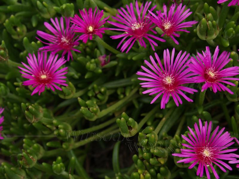 Pink ice plant ( Delosperma cooperi )