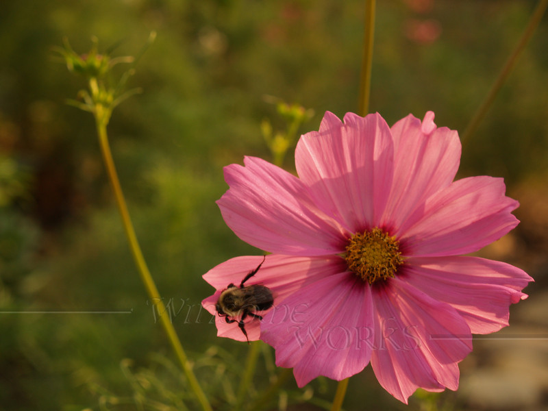 Cosmos with bumblebee