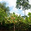 Cacao grove. Maya Mopan Village, Belize