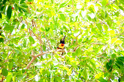 Toucan out my window. San Ignacio, Belize