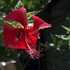 Red Hibiscus Red Hibiscus
