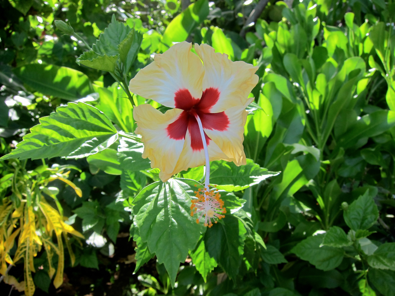 Red & Yellow Hibiscus