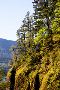 Mossy trees line the cliffs beside Multnomah Falls.