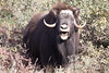 The  musk ox is telling me politely to get back in the truck or prepare to meet my maker. About 50 miles south of Prudhoe Bay along the Dalton Highway, Alaska.