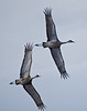 Sandhill Cranes at Creamers Field in Fairbanks.  The cranes are getting ready to head south for the winter.