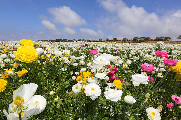 How I Saw It - The Flower Fields - Carlsbad, California