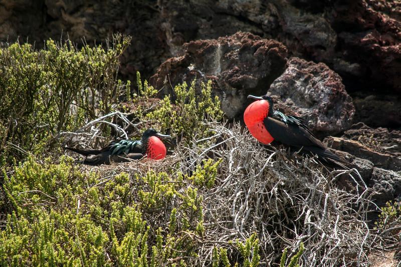 Magnificant Frigate Birds