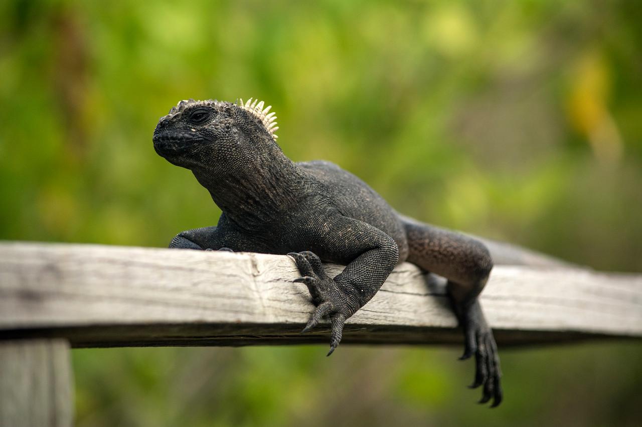 Marine Iguana lounging on a fence
