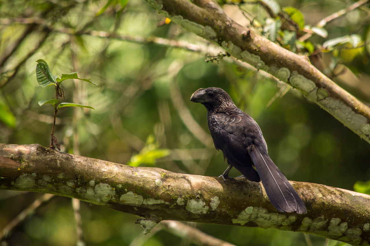 Smooth-billed ani, Reserva El Chato