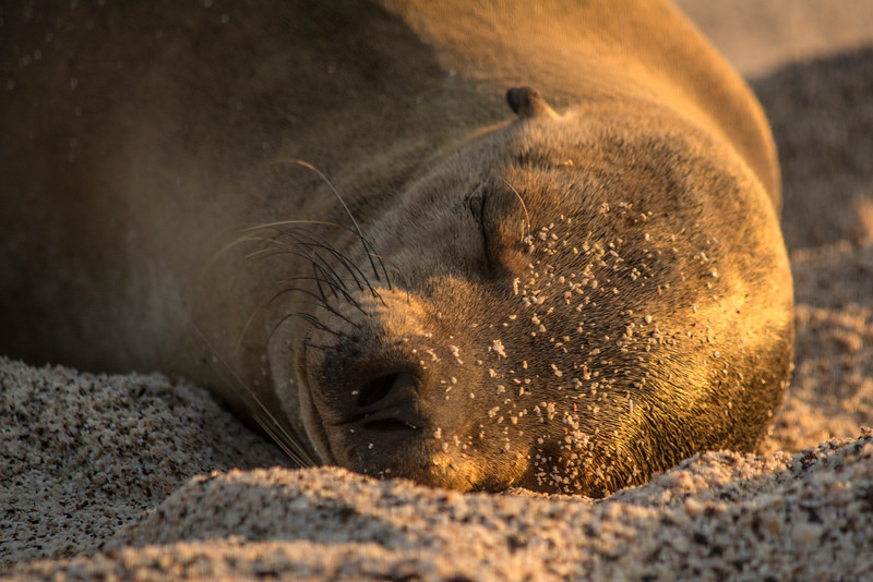 Sea Lion golden light
