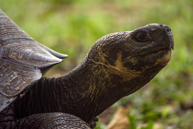 Giant Tortoise, Reserva El Chato