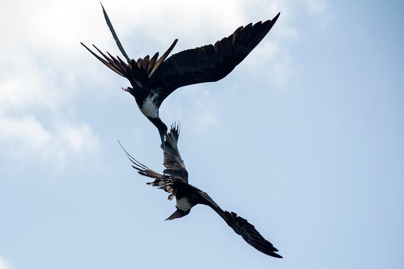 Magnificent frigatebirds fighting
