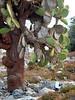 Land Iguana with Cactus