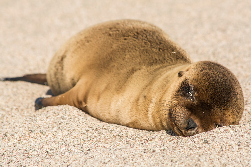 Baby Sea Lion asleep