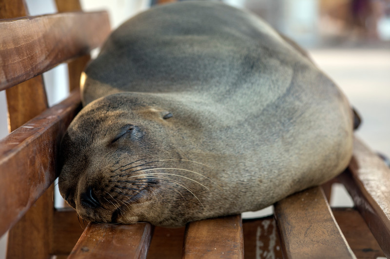 Sea Lion Lounging on a Bench