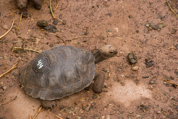 The Darwin Center breeds and marks baby giant tortoises