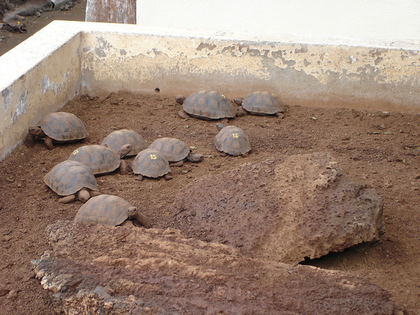 The Darwin Center breeds and marks baby giant tortoised
