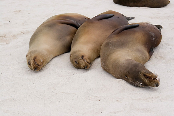 The Sea lions love to snuggle and sleep on the beach