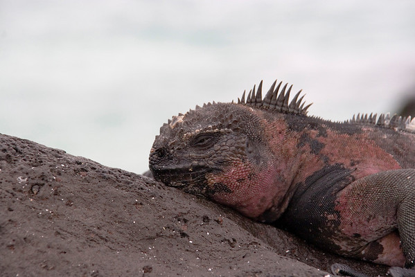 "Marine Iguanas; these are endemic to the Galapagos.  During the mating season the males take on this red and green coloration and are commonly referred to as ""Christmas"" Iguanas"