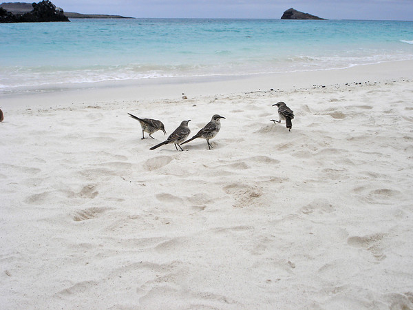 Mockingbirds, Gardner Bay beach