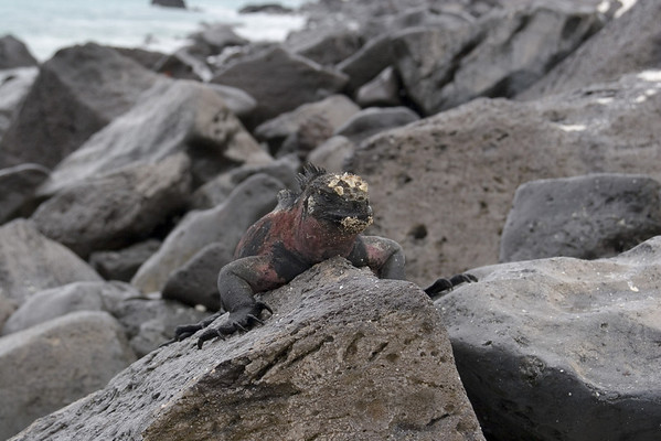 """Marine Iguanas; these are endemic to the Galapagos.  During the mating season the males take on this red and green coloration and are commonly referred to as """"Christmas"""" Iguanas"""