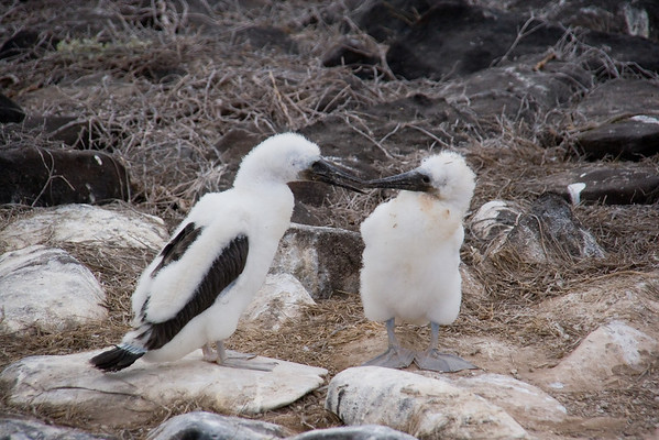 Blue-footed Booby chicks
