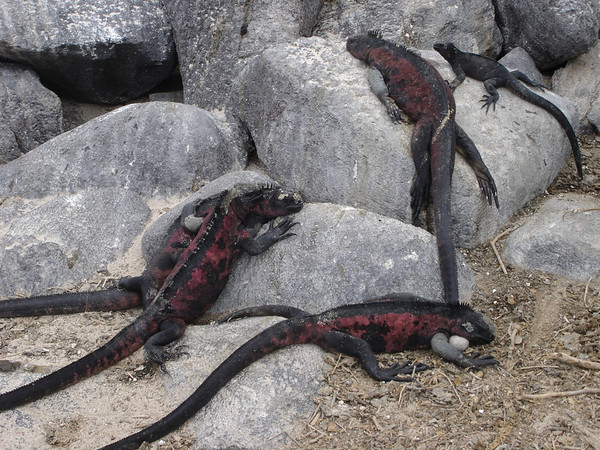 Christmas Marine Iguanas; males take on heightened red/green coloring during the mating season