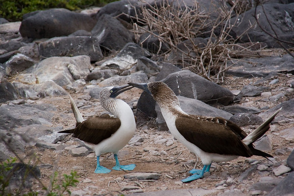 Blue footed Bobbies engaged in mating dance