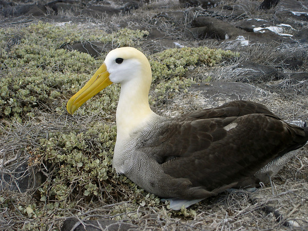 The waved albatross is found in the Galapagos only during the dry season, from around mid-April to mid-December.  It can migrate as far as Japan, but returns every year to the same nesting grounds in the Galapagos.