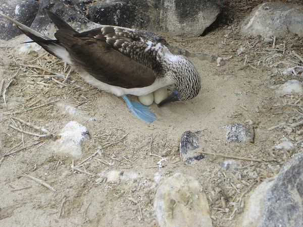 Nesting Blue-footed Booby