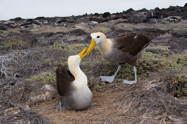 The waved albatross doing their mating dance.  The waved albatross is endemic to the island of Espanola.  This is the only place in the world where it reproduces.  The birds are known for this ritualistic mating dance during which they clack their beaks together and bow to each other.  The dance can last for hours.