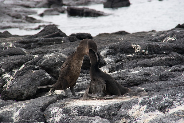Cormorant feeding chick