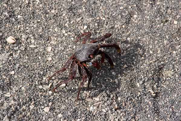 Immature Sally Light-foot crab