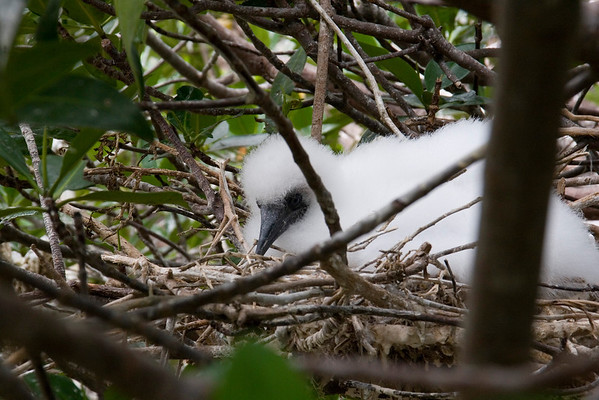 Red-footed Booby chick