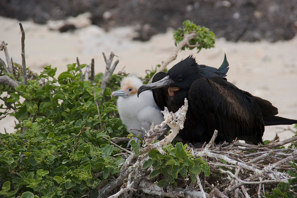 Male Great Frigatebird and chick