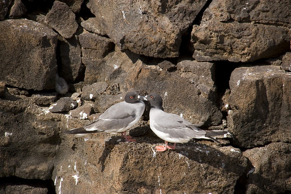 Swallow-tailed Gulls.  Note the chick taking refuge from the sun in the crevice of the rocks.