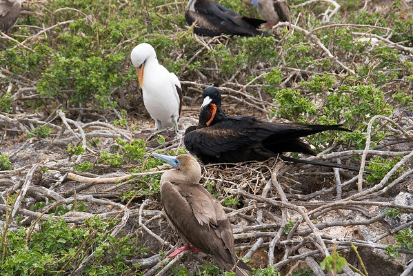 Nazca Bobby, Great Frigatebird and Red footed Booby