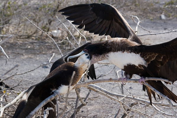 Somebody is hungry (Frigatebird feeding)