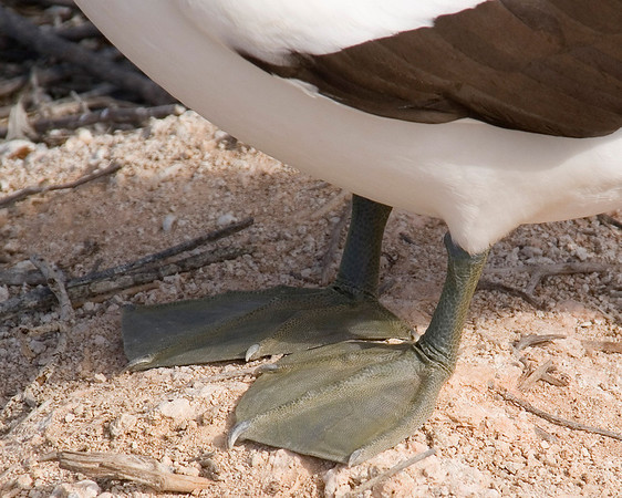 Nazca Booby; a.k.a. green-footed booby