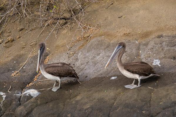 Galapagos Pelicans