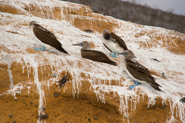 "Blue-footed Boobies on ""white-washed"" rock"
