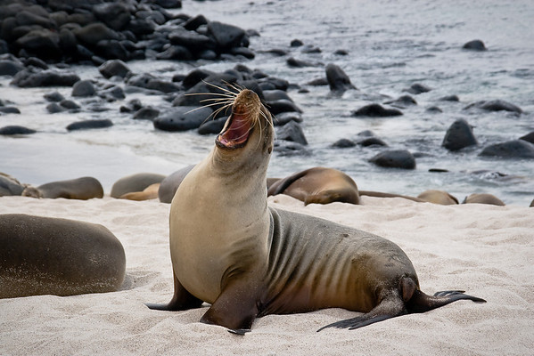 Male Sea Lion