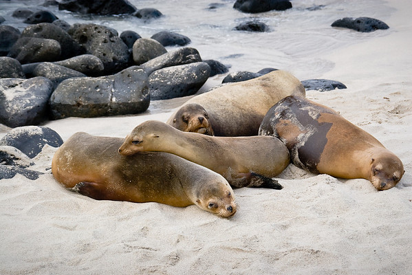 A sea lion family