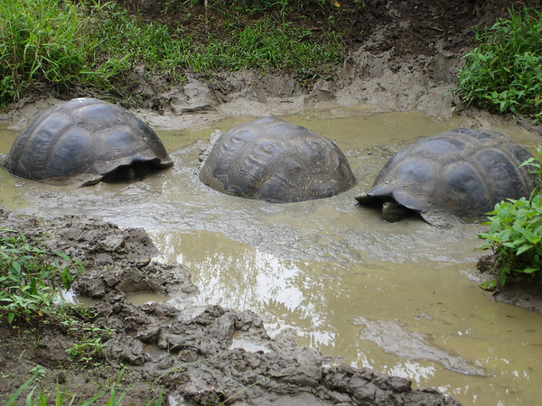Giant Tortoises like the mud because it cools them off