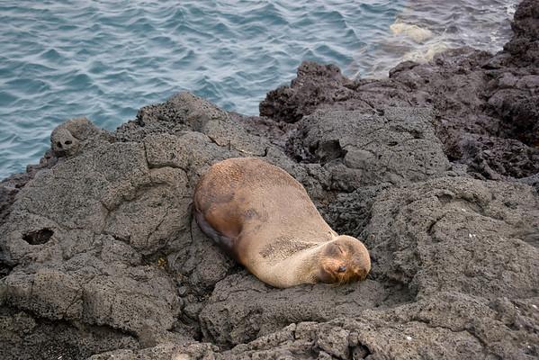 Fur sea lion