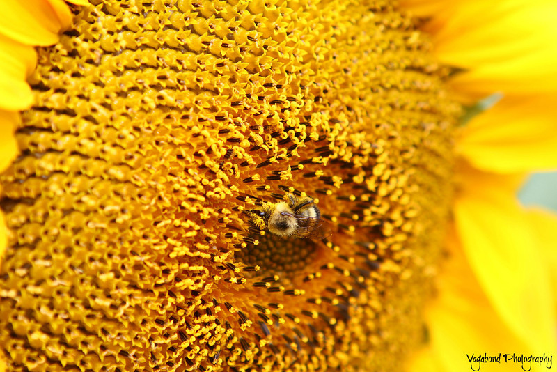 Do you see the bee?
