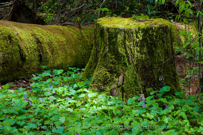 Moss covered log and stump surrounded by Common Blue Violets beside a trail at Linville Falls.