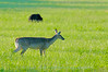 A White Tailed deer in Cades Cove with a Black Bear in the background.